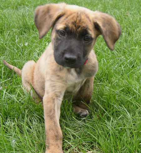 Boxer And German Shepherd Mix | Dog German Shepherds
