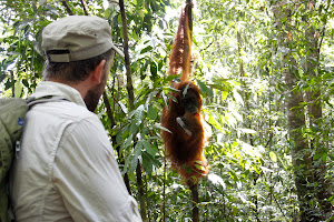 watching orangutan near by