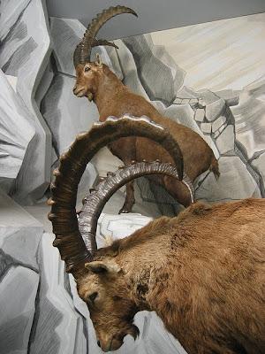 Cabra-Real-capricornio