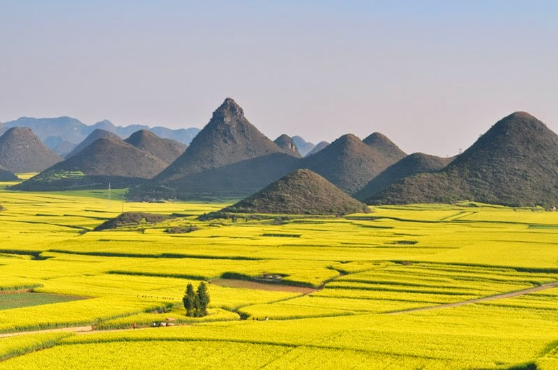The Yellow Flowers of Rapeseed | Canola fields in China