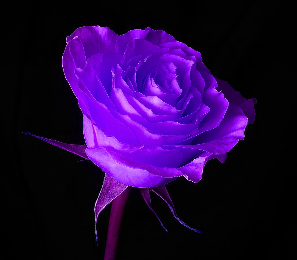 Free Desktop Background Wallpapers Most Beautiful Purple Rose