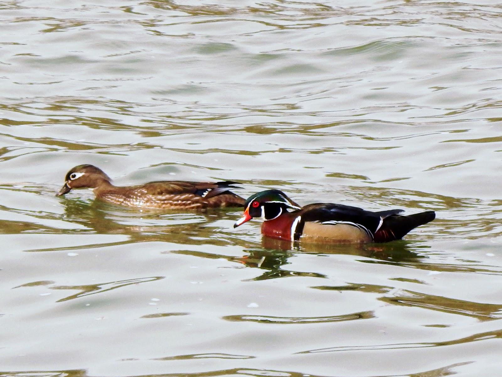 capital naturalist by alonso abugattas wood ducks