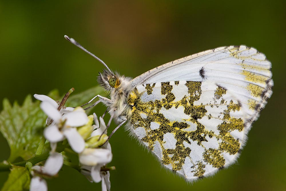 Orange Tip (female) - Loughton Valley Park, Milton Keynes (2013)