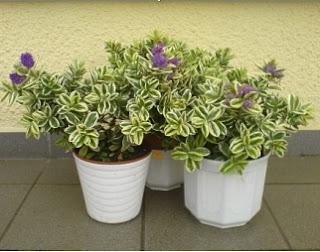 planta Hebe, plantas de sombra, plantas bonitas de sombra, planta hebe, planta para jardin, planta para terraza, planta para balcón, plantas para terrazas con sombra, plantas para balcones,