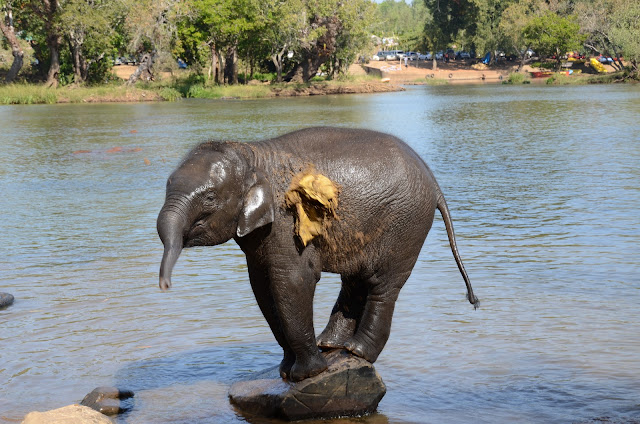 baby elephant playing on river bank