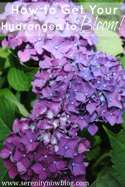 How to Get a Hydrangea Plant to Bloom, from Serenity Now
