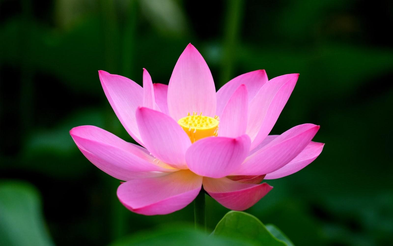 Beautiful lotus flowers izmirmasajfo