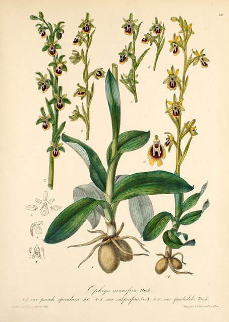 Ophrys lutea    Abejas amarillas