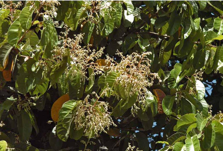 Vateria indica
