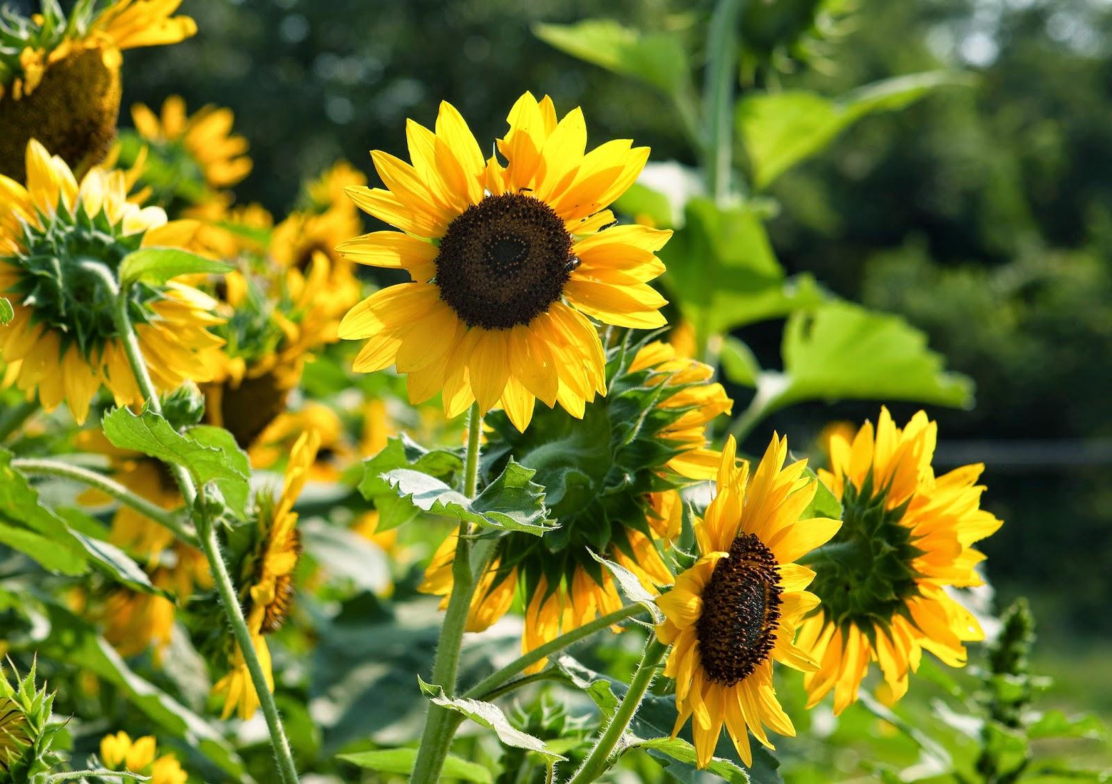 Sunflower State Flower of Kansas Clip Art Public Domain Clip Art s and I