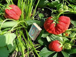 Клубника однолетка, ягоды