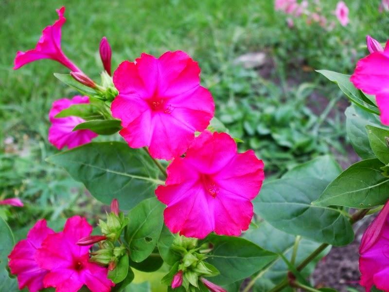 Flower Homes: Four o'clock Flowers Hendirikka Flower