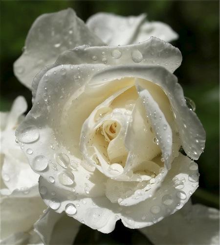الرشاقه والجمال اجمل وردة بيضاء في العالم احلي ورد وارق ورد ابيض