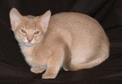 Fawn Abyssinian Cat for sale