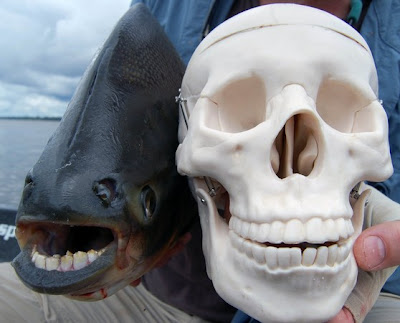切蛋魚 鋸腹脂鯉 男性