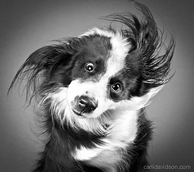 Sacudida perros moviendo la cabeza