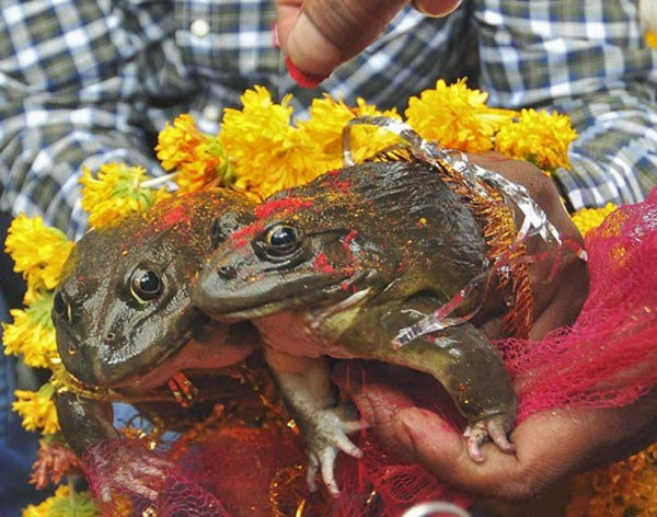 Frogs Marriage for Rain