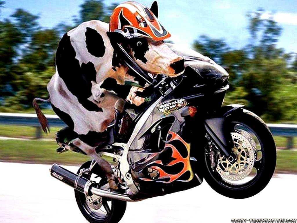 Vrry Funny Cow Pictures 2011   Funny Animals