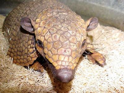 K Comen Los Armadillos Naturality: Animales p...