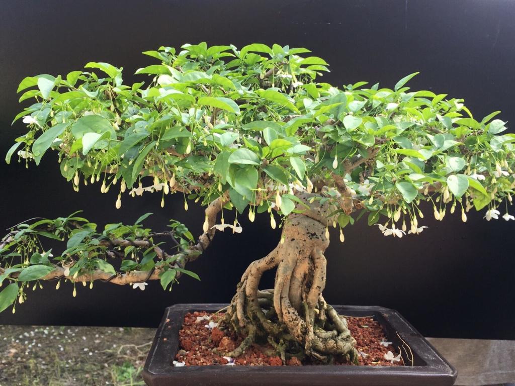 Bonsai Malaysia