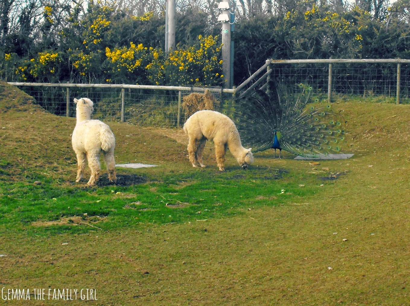 woodlands, alpaca, peacock, funny, lol, dartmouth, blogger, parent, sunday, photography