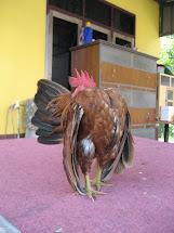 Ayam yg telah dijual dgn nilai RM13K,pada bulan sept 2011