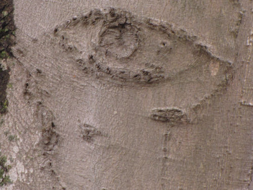 face in beech bark
