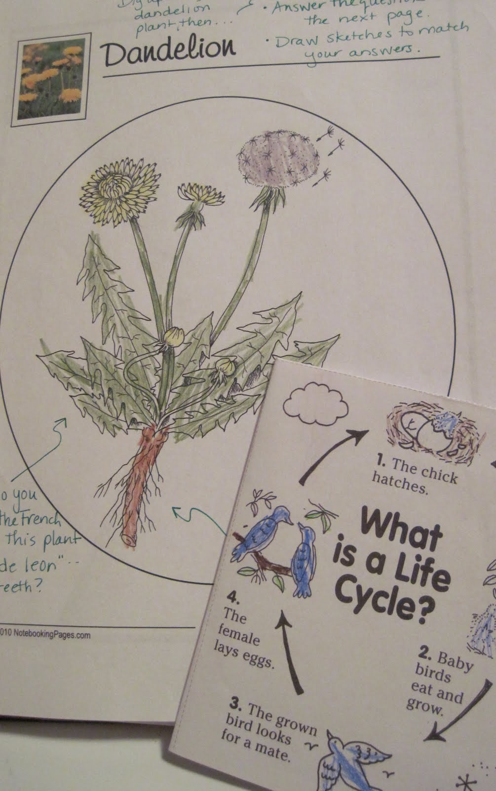 A Child\'s Garden: Dandelions: A Bilingual Lesson on Plant Anatomy ...