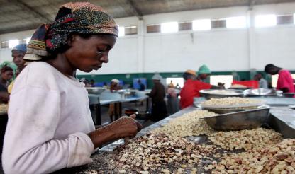 Guiné-Bissau: ESTADO ARRECADA 9.6 MILHÕES DE EUROS EM EXPORTAÇÃO DE CAJU