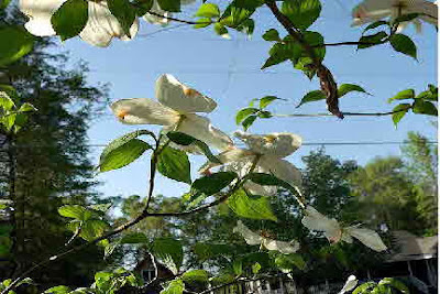 Dogwood tree and blossoms