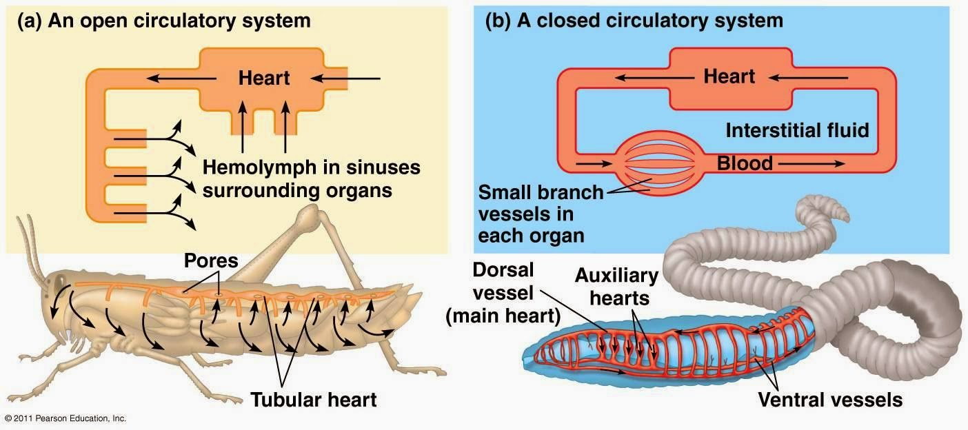 Brief Review And Difference Between Open And Closed Circulatory