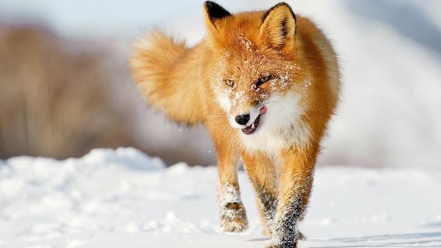 Winter Fox Hunting