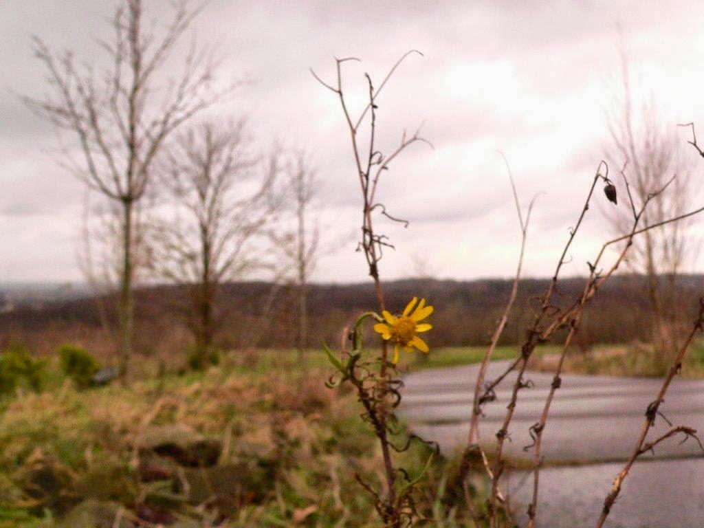 Bochum Ruhrgebiet Ruhrpott Halde Aussicht Blume gelb einsam verblüht Winter