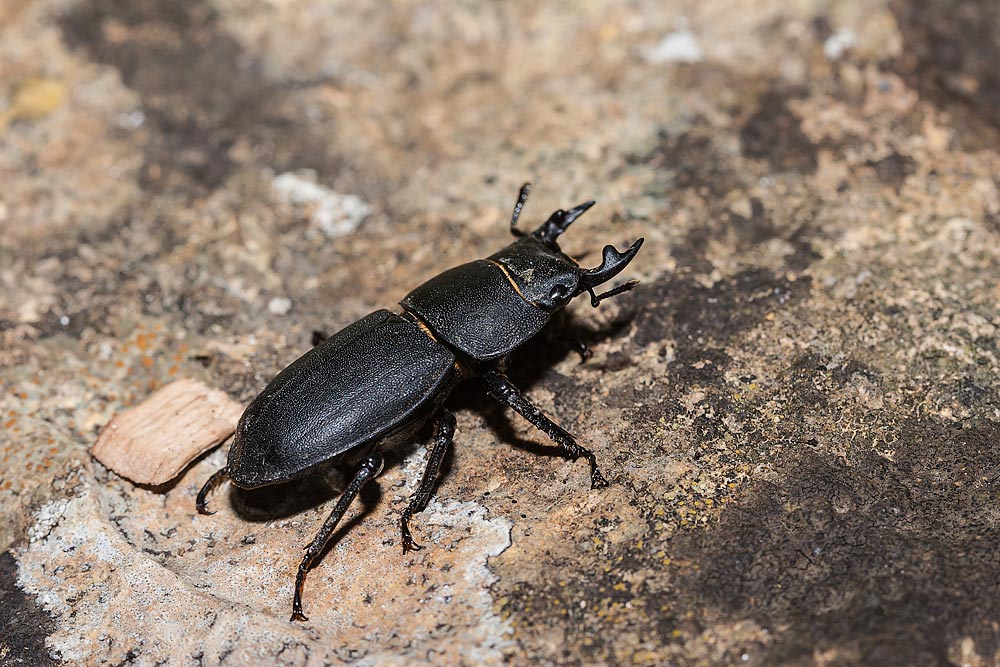 Lesser Stag Beetle a great find on a mini beast hunt