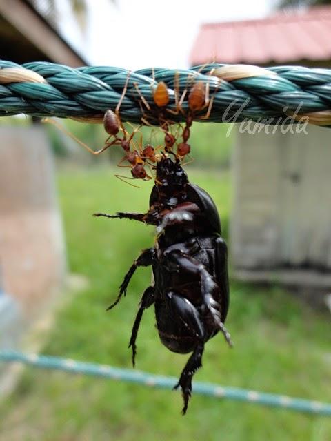 Kata-Kata Hikmah & Motivasi: Kerja Berpasukan, gambar motivasi, ucapan motivasi, kata-kata mutiara, contoh teladan, gambar kerengga, kumbang hitam, teamwork, kerja bersama-sama, gotong-royong, sikap berpasukan, semangat berpasukan