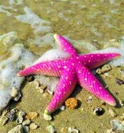 starfish bintang laut berwarna pink