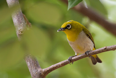 A photograph of a White-eye (Zosterops palpebrosa) taken in Yala, Sri Lanka
