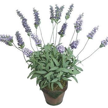 Malinalli herbolaria m dica lavanda lavender - Lavanda cuidados maceta ...