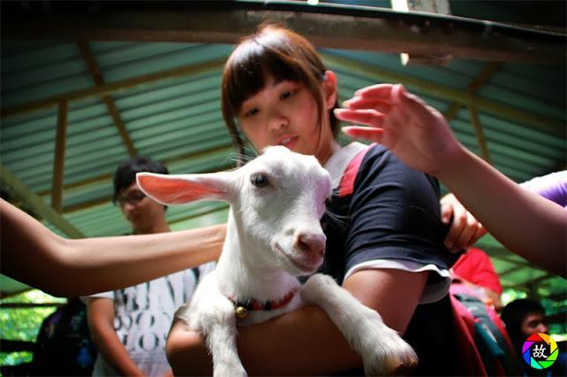 Balik Pulau Saanen Dairy Goat Farm