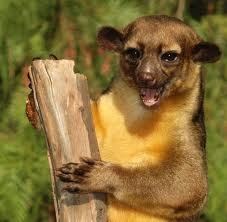 Kinkajou Honey Bear