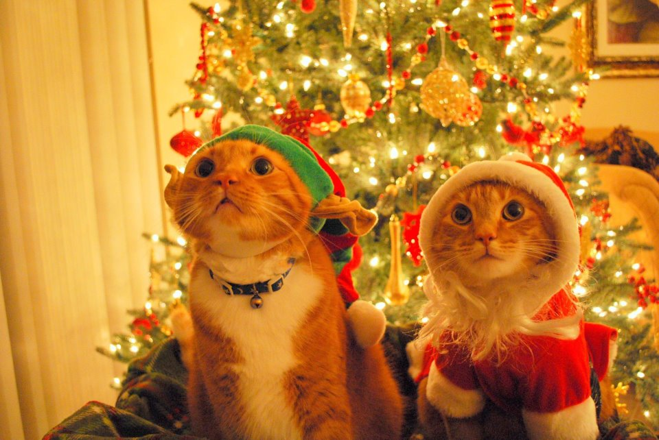 20 funny Christmas animals pictures , cats in Santa Claus and elf