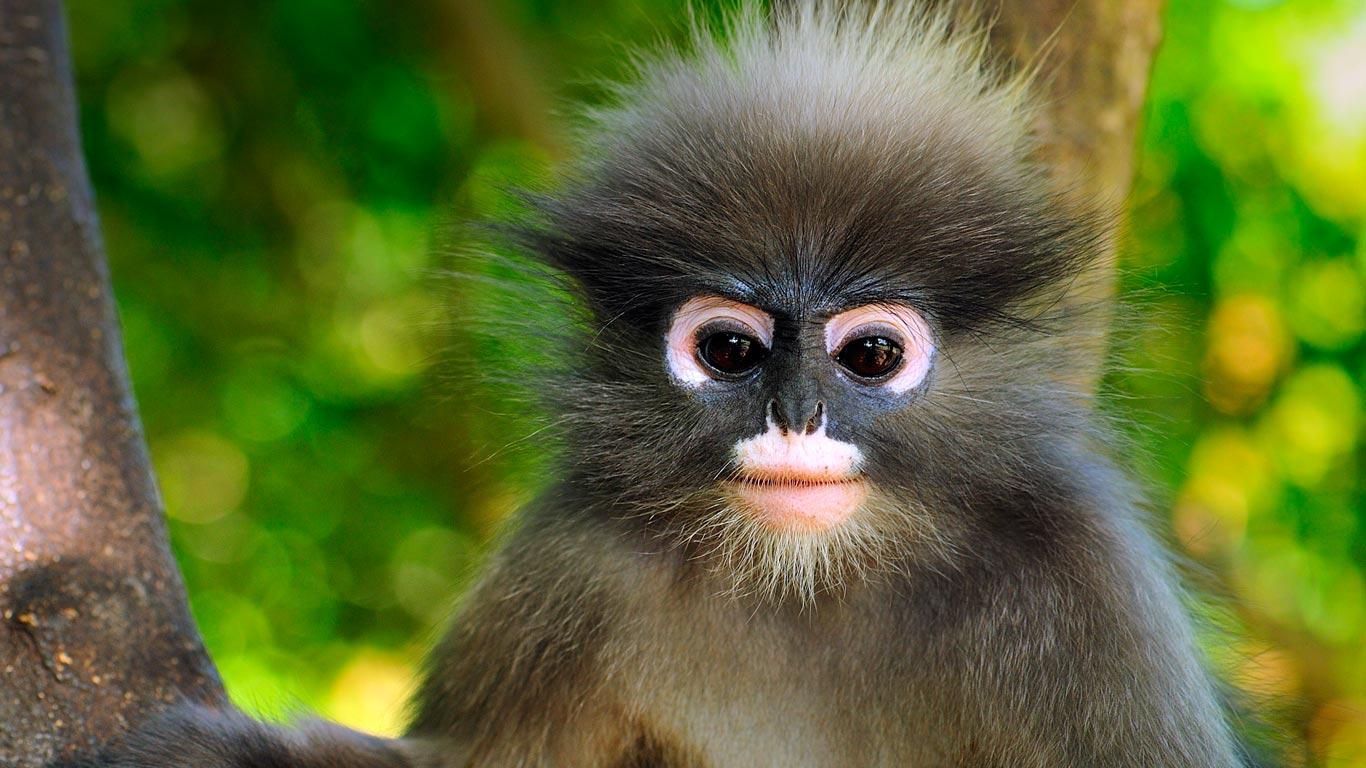 Bing Wallpaper Dusky Green Monkey Bing Wallpapers