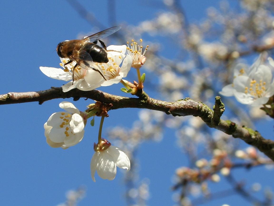 http://4.bp.blogspot.com/-lour-TRXcMw/TaVRvpch2eI/AAAAAAAACXc/K97kzH0r5DY/s1600/bee-on-spring-wallpapers_8354_1152x864.jpg
