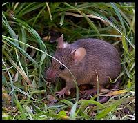 Πώς διώχνουμε τα ποντίκια από το σπίτι ή το υπόγειο;