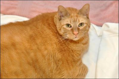 Sponge_Bob_33-lb Cat