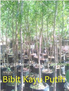 bibit tanaman kayu putih