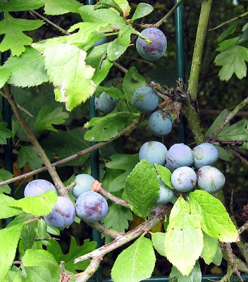 Sloe berries, Prunus spinosa, beside a path in West Wickham.  10 August 2011.