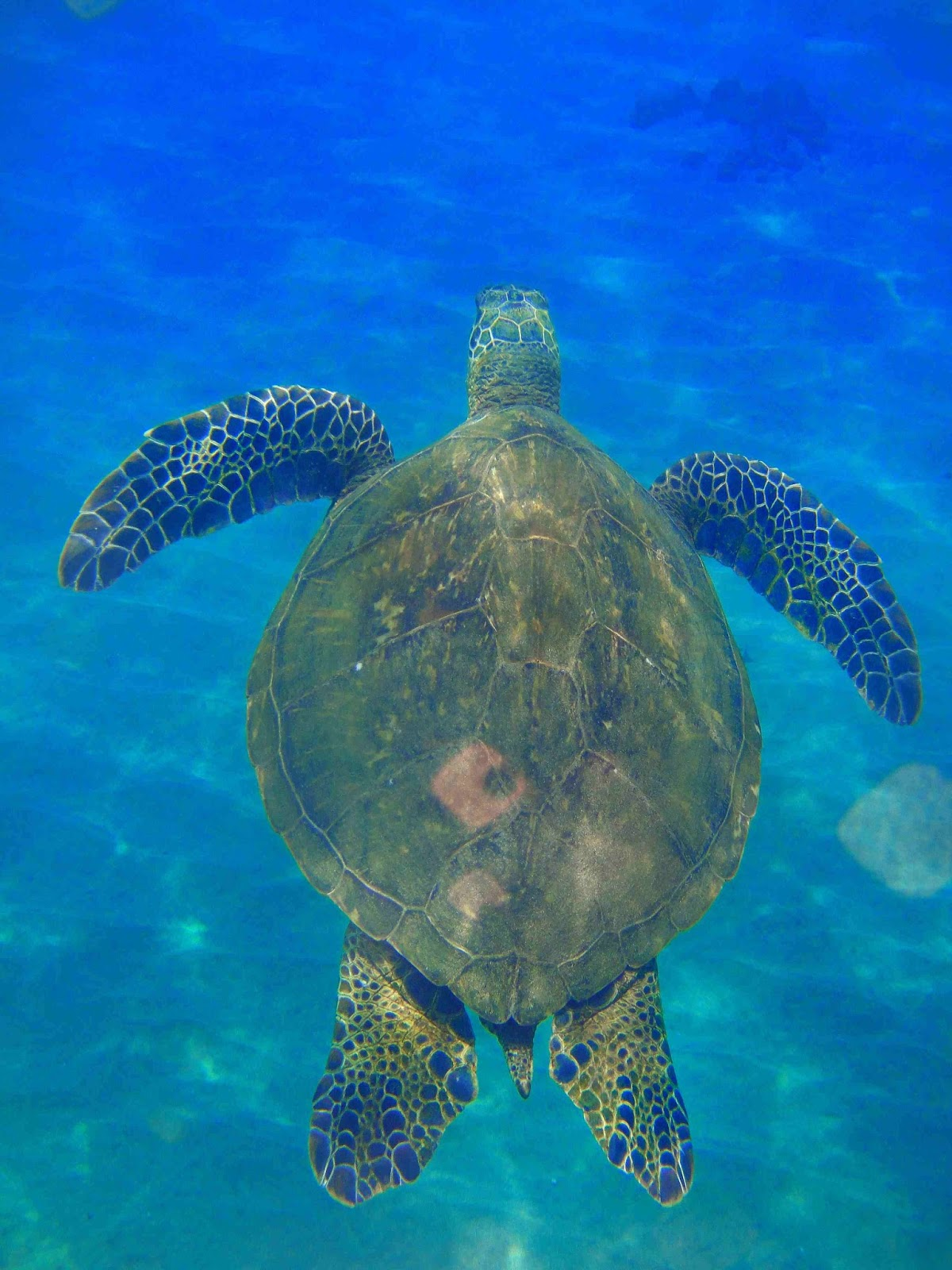 This great green sea turtle, swimming near