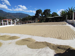 Coffee beans drying at co-op, San Juan La Laguna, Ago Atitlan