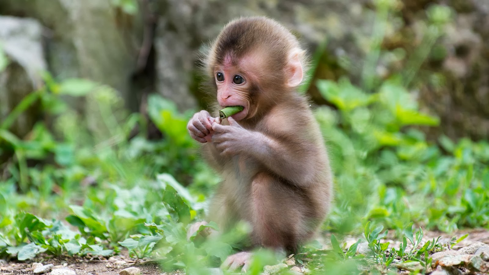 Most Cute And Beautiful Monkey Wallpapers In Hd